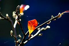 October (Ian Lambert) Tags: autumn sun plant tree leaves garden october bokeh bare magnolia outline shrubs naturescall treeofhonor