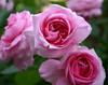 ROSES  (ANGLAISESMINI) (Pink Roses) Pinkbeauty (gsb_viva) Tags: flowers roses india wonderful superb unique class 1stclass shani wonderfull viewable shaani beautifulcapture natureandwildlife superbshot thatsclass gsbviva uniqueclass superbclass