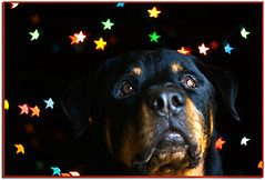 *Christmas Dreams* (RottieLover) Tags: christmas light dog pet pets dogs animal animals stars 50mm lights star nikon bokeh dream rottweiler dreams d200 happyholidays merrychristmas rottie nero rottweilers 50mmf14d rotties mrsu nikonstunninggallery starbokeh