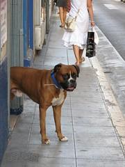 拳師犬 (b8607038) Tags: nice day21