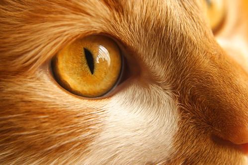 El gato dorado