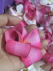 frangipani (araliya) (Stivi R) Tags: frangipani araliya