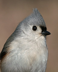 PICT0063_titmouseportrait2resize (gracie328) Tags: bird birds titmouse tufted