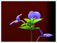 RGB- Red Green Blue (Midhun Manmadhan) Tags: flower
