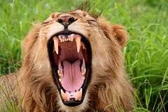 Yawning male Lion (The Kruger Kid) Tags: africa park wild eye smile animal tooth leo wildlife south teeth lion yawn safari bigcat views laugh planet roar guides 1000 kruger pantheraleo 5photosaday sabieriver lionsteeth