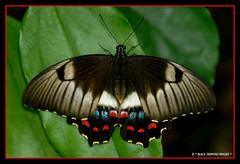 Papilio aegeus - Orchard Swallowtail Butterfly (Female) (Black Diamond Images) Tags: butterfly explore papilio buterflies papilionidae papilioaegeus australianrainforest blackdiamondimages orchardswallowtailbutterfly australianrainforestbutterflys 1galleries