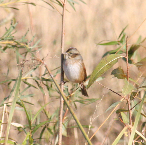 swamp sparrow 1 (3)