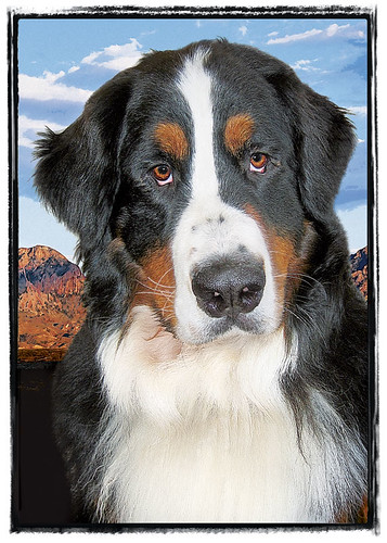 "Bernese Mountain Dog  ""Teddy Bear"""