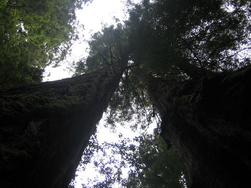 looking up a redwood tree at the sky