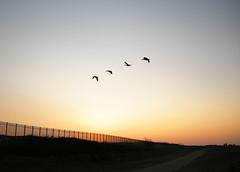 Flee (Paul.McGee) Tags: sunset sun water birds marina liverpool flying geese waterloo crosby crosbybeach crosbymarina