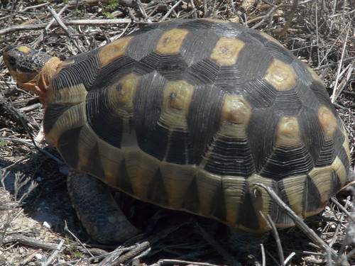 Tortoise in West Coast National Park