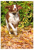 annie (fotophriendly) Tags: dog green leaves canon dogrunning brownandwhitedog autumnanddog fotophriendly