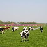 Beemster: Volgerweg landscape in spring