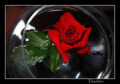 Lonely in vacuum world (Tran_Thaohien) Tags: flowers red flower color cute love colors leaves rose loving cards leaf colorful smooth card excellent tender hoa yu p mywinners aplusphoto tnhyu thaohien hoap nhhoa peachofashot vietbestphoto tranthaohien thiphoa