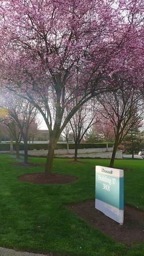 公司前的櫻花樹3