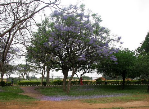 the beauty of the jacaranda tree lalbagh 220308