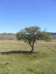 Bariloche - Cabalgata - arbre