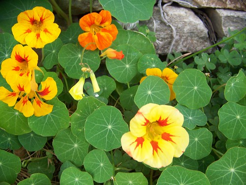 Fleur Comestible La Capucine Dans La Vie De Laure