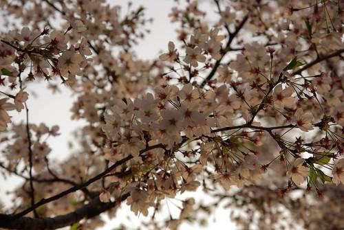 Seoul Cherry Blossom Festival – képgaléria
