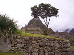 L'Albero di Machu Picchu (Grabby Walls) Tags: city travel peru machu picchu inca cuzco america lost cusco south valle perù sacra valley sacred viaggi viaggio sud incas città sagrado iloveit viaggiare qosqo 5photosaday perduta mywinners isawyoufirst theperfectphotographer worldwidelandscapes qualitypixels llovemypics grabbywalls