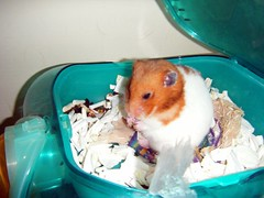 20080514-01 (kayako_) Tags: hamster pon