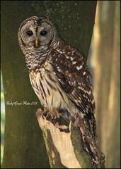 A Barred Owl for Real (Austie1) Tags: wild nature canon orlando florida owl barredowl naturesfinest supershot abigfave ysplix babygracephotography