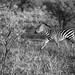 Zebra in Tarangire