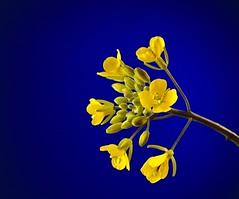 Hongcaitai (dr_scholz@ymail.com) Tags: yellow blue hongcaitai vegetables oilseed brassicarapavarpurpurea brassica rapa 21magnification halflifesize complementarycolors flower plant canon5dmkii zeissmakroplanar50mmf2 makroplanart250 makroplanar502ze makroplanar50mm macro