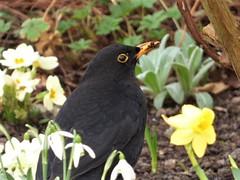 Spring has sprung (Martellotower) Tags: spring sprung blackbird beak yellow primrose snowdrop daffodil beady eye