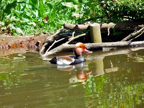 pato-de-bico-vermelho