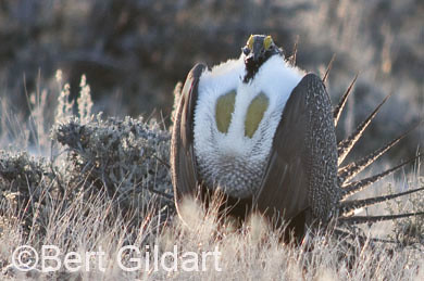 SageGrouse-102-2
