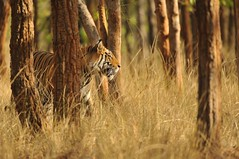 Tiger - Bandhavgarh, India (Ami 211) Tags: india tiger bigcats panthera pantheratigris bandhavgarh felidae pantherinae