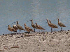 Zarapito picolargo / Long billed curlew