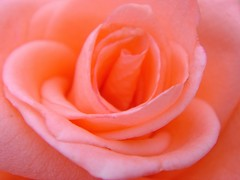 Dreaminess (Lyubov) Tags: roses macro nature rose ilovenature dream naturesfinest splendiferous thebiggestgroup ultimateshot wowiekazowie diamondclassphotographer flickrdiamond empyreanflowers ysplix thatsclassy queenrose
