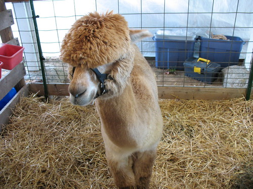 Emo Alpaca feels it deeply