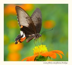 Happy Living (Araleya) Tags: life travel orange flower nature butterfly river thailand interestingness colorful southeastasia panasonic explore riverbank floraandfauna loei lively fz50 naturesfinest mekhong beautifullife araleya chiangkhan interestingness390 i500 pdpnw theperfectphotographer