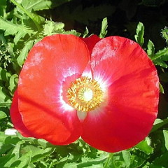 2003 Shirley Poppy Square Crop 001 (Chrisser) Tags: flowers summer ontario canada nature garden gardening fourseasons poppies closeups papaver papaveraceae papaverrhoeas squarecropped nikoncoolpix880