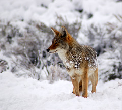 Colorful Coyote in the Snow