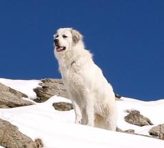 Meine Hunde 02 (Shepherd & his Hot Dogs) Tags: schnee mountains alps dogs nature animals schweiz switzerland landscapes tiere hiking natur berge glaciers landschaft summits tierwelt pyreneanmountaindogs silberen pyrenischeberghunde montagnesdespyrenes