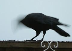 Crow boi-i-n-n-n-gg! (Lollie Dot Com) Tags: bird crow lolliedotcompix boinnggggcrowboiinnnggg p1350475cc