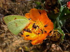 Cloudless Sulphur Butterfly (Karina Diarte de Maidana) Tags: cactus flower butterfly insect lepidoptera paraguay opuntia mariposa phoebissennae pieridae coliadinae cloudlesssulphur opuntiaparaguayensis chacoparaguayo karinadiarte