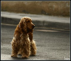 PANCHO G (David Isidoro Garcia) Tags: dogs nature animals lafotodelasemana spain gimp perros pancho cockerspaniel cockers 100vistas eligetucolor cockerspanielingles lfs122007