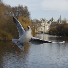 Bread catcher (daveograve@) Tags: park seagulls bird london st seagull gull gulls jamess diamondclassphotographer theunforgettablepictures tup2