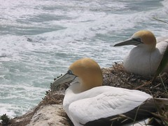 Real Bird-Brain Blondes (;~pikipikipoet) Tags: newzealand gannets blonde muriwaiheads westcoast gannetcolony seabirds squatters watchingtheworldgoby sittingonthedockofthebay birdwatching blondebabes blondechicks
