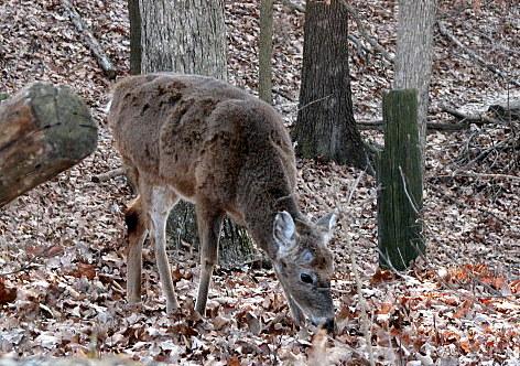 deer fawn Lone Elk Park 200108