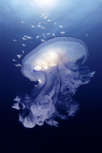 Magnificent Jellyfish