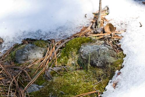 Mossy Snow Rock