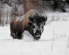 Bison - Yellowstone (Dave Stiles) Tags: wildlife yellowstonenationalpark yellowstone bison stiles specanimal animalkingdomelite platinumphoto yellowstonewildlife theperfectphotographer bestofanimals nginationalgeographicbyitalianpeople
