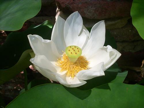 Flor de Loto en Wilde