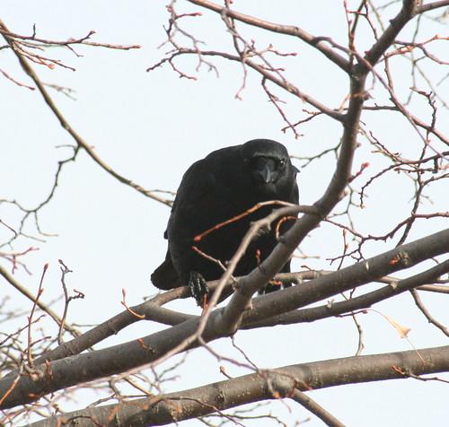 american crow peer